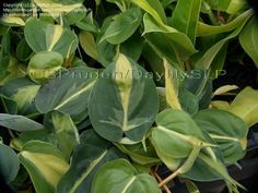 Philodendron 'Brasil' Type:Tropicals and Tender Perennials, Vines and Climbers Height:10-12 ft. (3-3.6 m) Conditions:Zone 10-11, Light Shade