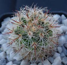 Mammillaria dodsonii Cactusloft