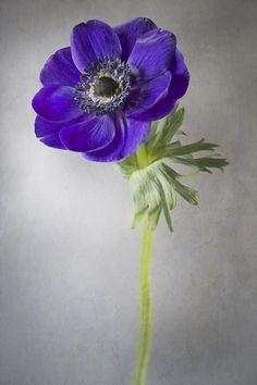 Poppy Anemone - Anemone coronaria De Caen Group, commonly known as Poppy Anemone or Windflower - Jacky Parker