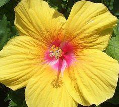Yellow Tropical Hibiscus (Chinese Hibiscus)
