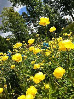 Grindelwald switzerland alpine globeflower trollius europaeus more information mightylinksfo