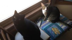My usernamesake Pickles (left) is not doing well. We don't think she will make it to the weekend. She is only 12. Just wanted to post a picture of her doing her favorite cat stuff (watching birds!). Thanks for looking.   cats funny pictures