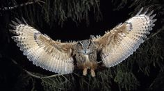 Great-horned Owl flying [19201080]