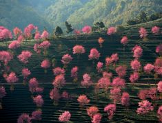 Blossoming pink trees on the mountainous landscape of Nanjian Yi Autonomous County in southwest China