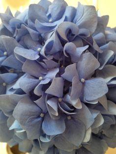 blue ortensia