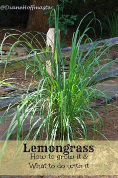 Herbal Gardening Ideas Love the flavor of lemongrass? Learn how to grow lemongrass and have a constant supply from your own backyard. Enough for plenty of lemongrass recipes! - Lemongrass: How to grow it and what to do with it! Lemongrass Recipes, Grow Lemongrass, Outdoor Plants, Garden Plants, Outdoor Gardens, Easy Garden, Edible Garden, Gardening For Beginners, Medicinal Plants