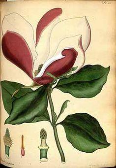111783 Magnolia liliiflora Desr. [as Magnolia purpurea Curtis]  / The botanist's repository [H.C. Andrews], vol. 5: t. 324  (1803-1804) [H.C. Andrews]