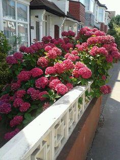 A csoda szép hortenzia három titka – Balkonada Go Outside, Geraniums, Horticulture, Outdoor Gardens, Exterior, Gardening, Sun, Flowers, Houses