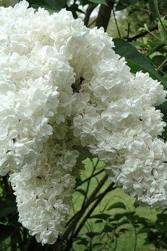 Love white flowers