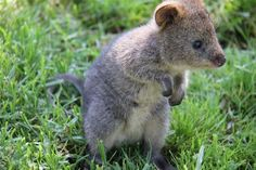 from notcot, Jarrah the Quokka Joey