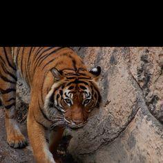 Beautiful tiger Little Rock Zoo