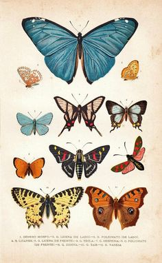 1891 Butterflies Antique Chromolithograph Entomology by carambas Vintage Butterfly, Butterfly Art, Butterfly Colors, Butterfly Sketch, Art And Illustration, Antique Prints, Vintage Prints, Art Papillon, Illustration Botanique