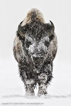 Bison head-on in snow - Bison head on in snow, Yellowstone  National Park, USA