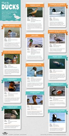 Great Infographic: Meet the Ducks! Meet some of the ducks featured in PBS Nature's An Original DUCKumentary.
