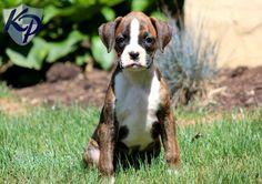 Dixie – Boxer Puppy  #boxerpuppy