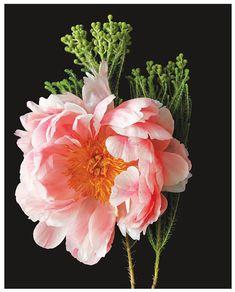 // Pink Peony III
