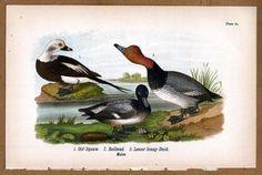 Ducks: Old Squaw - Redhead - Lesser Scaup 1890 Bird Warren Chromolithograph