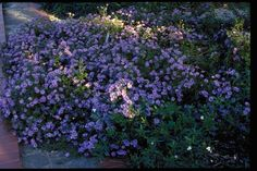 Full Sun part shade SmartScape Plant Details - Texas Aster Texas Landscaping, Landscaping With Rocks, Landscaping Plants, Landscaping Ideas, Sun Plants, Hardy Plants, Fall Plants, Outdoor Plants, Outdoor Gardens