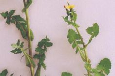 Sow thistle plants