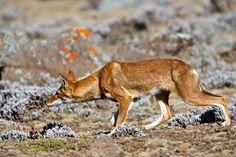 @ Christian Baillet - Loup d'Abyssinie - Ethiopie 2013 - Bale Mountains National Park – Sanetti Plateau - 3800 m