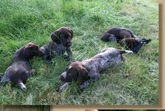 German Wirehaired Pointer & Deutsch Drahthaar