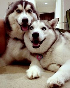 Double trouble has a new meaning when you own 2 huskies