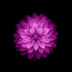 flowers, IOS 8, Purple Flowers HD Wallpaper Desktop Background