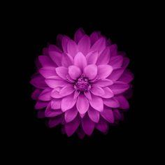 flowers, IOS 8, Purple Flowers HD Wallpaper Desktop Background