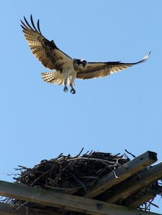 Osprey.... spotted on Sanibel Island and also nesting on lightposts never Gladiolus and Winkler Road in Fort Myer