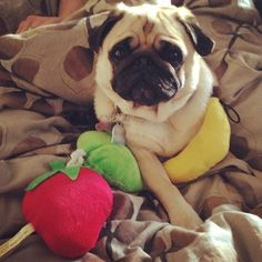 """A pug with some healthy """"snacks"""""""