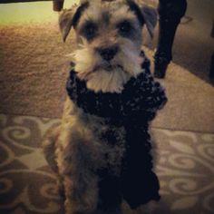 Mommee knitted me a scarf she's da bestest #schnauzer