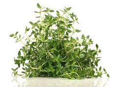 Zitronenthymian | eatsmarter.de Gardening, Herbal Medicine, Parsley, Aloe Vera, Herbalism, Spices, Herbs, Flowers, Eat Smarter