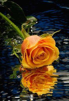 Orange rose!