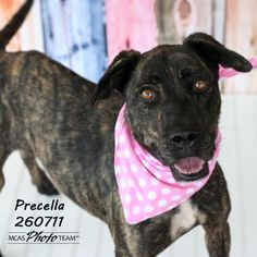 9/20/15♥♥♥Meet PRECELLA, a Petfinder adoptable Pit Bull Terrier Dog | Conroe, TX | Petfinder.com is the world's largest database of adoptable pets and pet care information....
