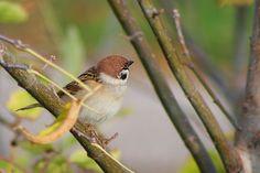 SPARROW  #sparrow #passer #passerdomesticu #bird