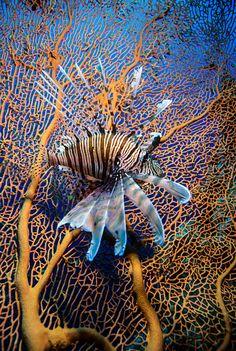 Lion fish on a gorgonia Red Sea Egypt