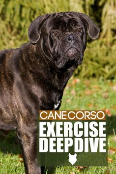 We're talking about the exercise needs of one of the most powerful breeds out there and is gaining a ton of popularity in the last few years; I'm talking, of course, about the magnificent Cane Corso. If you have one of these impressive beauties or are thinking about getting one, you won't want to miss today's video. Cane Corso Dog Breed, Mastiff Dog Breeds, Guard Dog Breeds, Large Dog Breeds, Best Dog Breeds, Large Dogs, Best Dogs, Farm Yard, Exercise