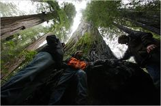 Redwoods - A California redwood dwarfs members of the Archangel Ancient Tree Archive, whose logo is at left. The group is working to replicate the biggest and best of the species, the tallest living things.