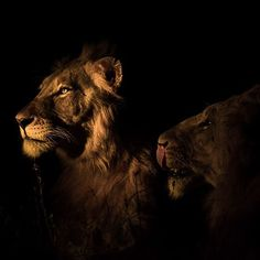Today we celebrate the animal kingdoms most beautiful and fearsome creature - the lion. World Lion Day, African Safari, Big Cats, Lodges, Animal Kingdom, Wilderness, Ranger, Most Beautiful, Wildlife