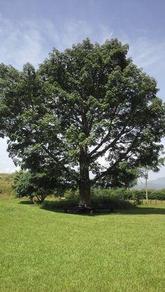 Árbol frondoso en Tonina' Chiapas