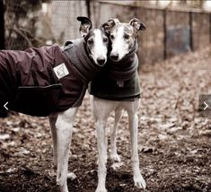 Bitte beachten Sie: Wenn Ihr Hund kein Windhund ist oder ein Mischling ist, kontaktieren Sie uns bitte über eine benutzerdefinierte Mantel für Ihren Hund zu machen.  Geben Sie bitte die folgende Informationen im Abschnitt Erläuterungen zum Verkäufer an der Kasse: Ihre Bestellung