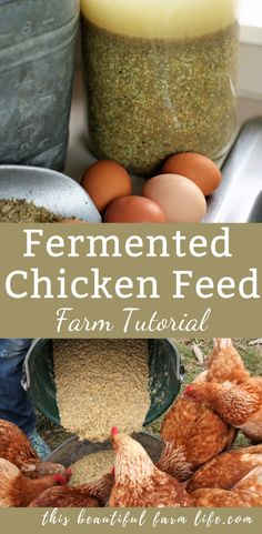 Fermented Chicken Feed Chicken Probiotics This Beautiful - Feeding Fermented Chicken Feed Gives Your Chickens And Ducks A Health Boost And Saves You Money Its Like Probiotics For Your Chickens This Post Contains Affiliate Links Which Means I Make A Backyard Chicken Coops, Chickens Backyard, Backyard Poultry, Backyard Farmer, Chicken Garden, Keeping Chickens, Raising Chickens, Pet Chickens, Hatching Chickens