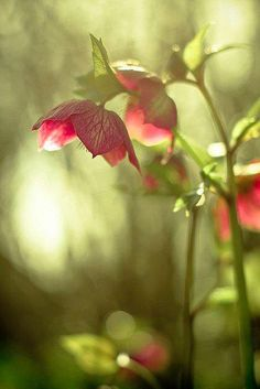 I love hellebores and this is a gorgeous shot. S