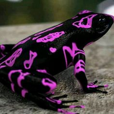 The Costa Rican Variable Harlequin Toad, also known as the clown frog....