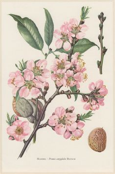 1960 Vintage Botanical Print Almond Tree Prunus от Craftissimo