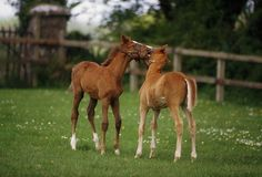 arabian thoroughbred bay color   Thoroughbred Foal, Ireland Photograph