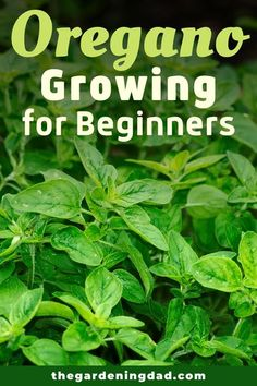 Learn How to Easily Grow Oregano indoors and outside with these beginner friendly tips, tricks, and ideas!  There is something for everyone in this ultimate guide!  #oregano #herbs #garden