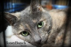Honeybunch is an adoptable domestic short hair searching for a forever family near Springfield, PA. Use Petfinder to find adoptable pets in your area.