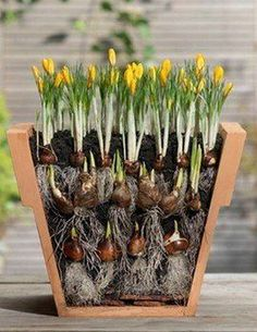 Welcome to the diy garden page dear DIY lovers. If your interest in diy garden projects, you'are in the right place. Creating an inviting outdoor space is a good idea and there are many DIY projects…MoreMore Garden Bulbs, Planting Bulbs, Planting Flowers, Garden Soil, Flower Gardening, Flowers Garden, Container Plants, Container Gardening, Gardening Tips