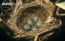 Great reed-warbler eggs in nest
